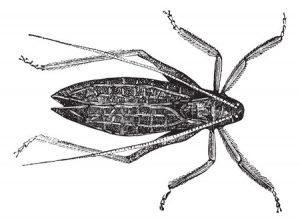 13767266-katydide-cyrtophyllus-concavus-or-long-horned-grasshopper-or-bush-cricket-vintage-engraving-old-engr
