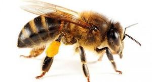 honey-bee-400x218